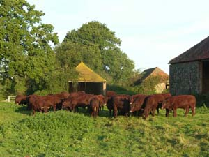 Sussex Cattle on Leconfield Farms Ltd Petworth